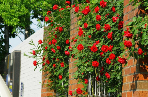 Hàng rào dây hoa xinh xắn cho ngôi nhà của bạn | ảnh 4