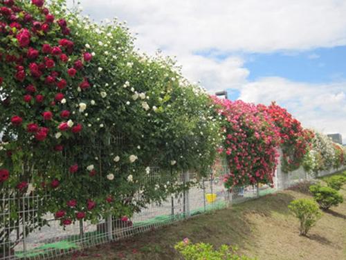 Hàng rào dây hoa xinh xắn cho ngôi nhà của bạn | ảnh 5