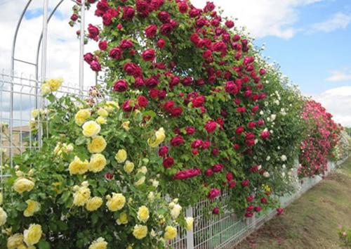 Hàng rào dây hoa xinh xắn cho ngôi nhà của bạn | ảnh 8