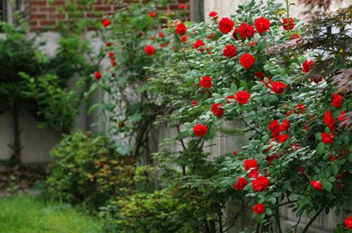 Hàng rào dây hoa xinh xắn cho ngôi nhà của bạn | ảnh 9