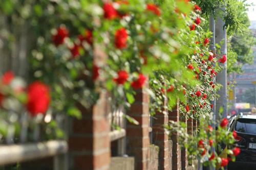 Hàng rào dây hoa xinh xắn cho ngôi nhà của bạn | ảnh 2